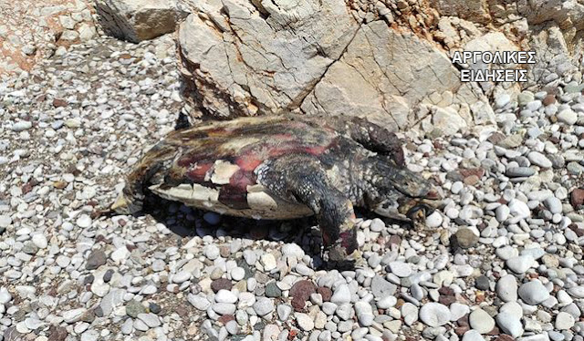 Θαλάσσια χελώνα εντοπίσθηκε νεκρή σε παραλία της Αργολίδας