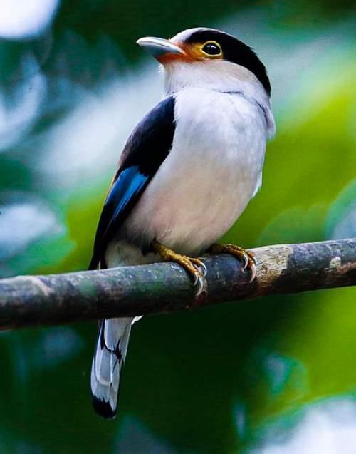 Birds of India - Photo of Silver-breasted broadbill - Serilophus lunatus
