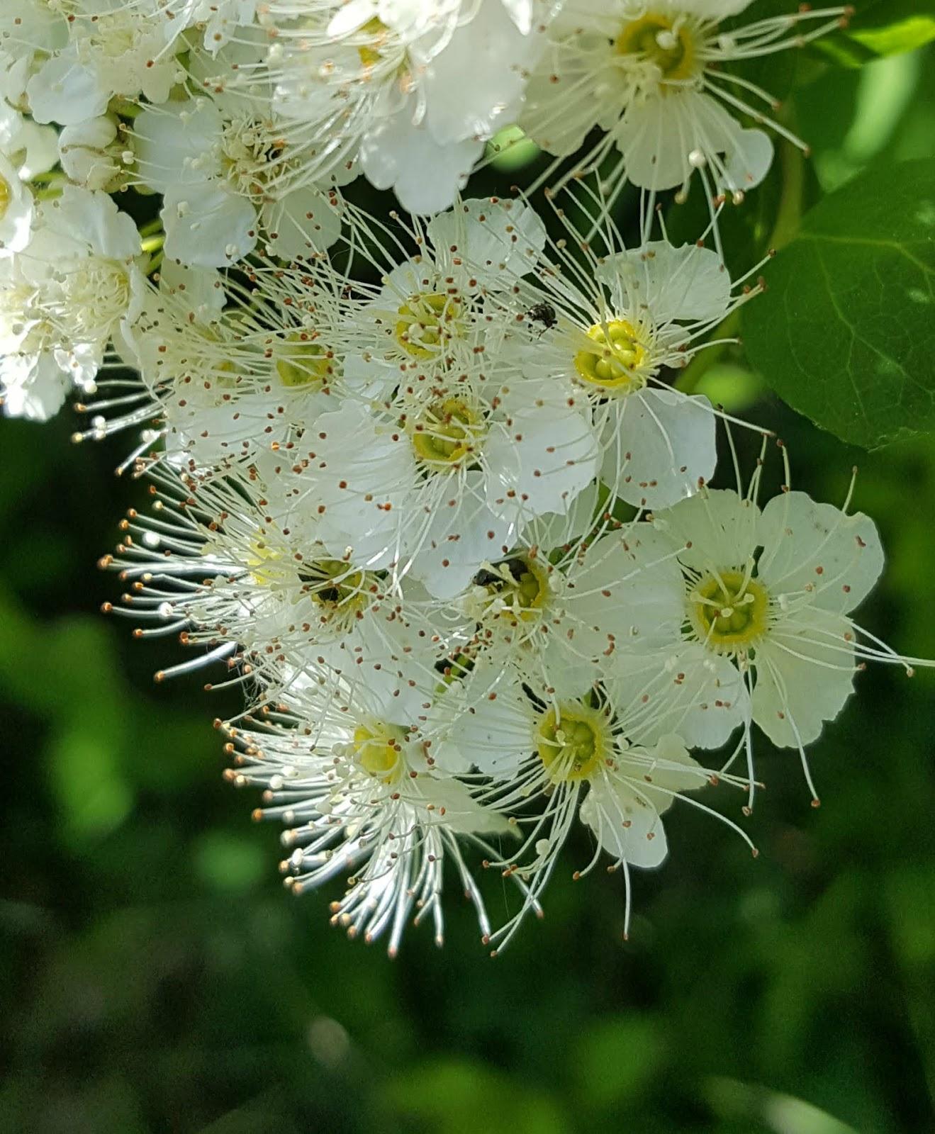 valkoinen kukkapensas