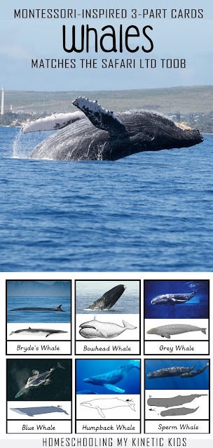 Montessori-inspired 3-part cards to match the Safari Ltd whales toob of animals.  Suitable for learning about whales, using with sensory bins, and working on reading and spelling.