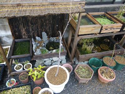 柿 禅寺丸 鉢植え