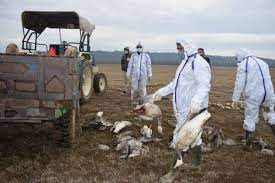 400 Swans Died From Bird Flu
