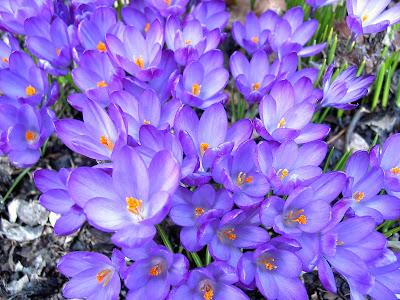 Top Beautiful Saffron Flower Hd Wallpapers Free Downloads