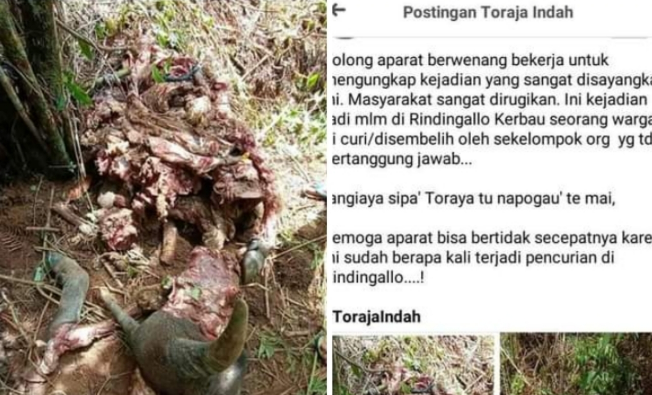 Tangmessipa', Curi Kerbau di Toraja lalu di Sembeli di Tempat