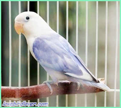 lovebird sable head