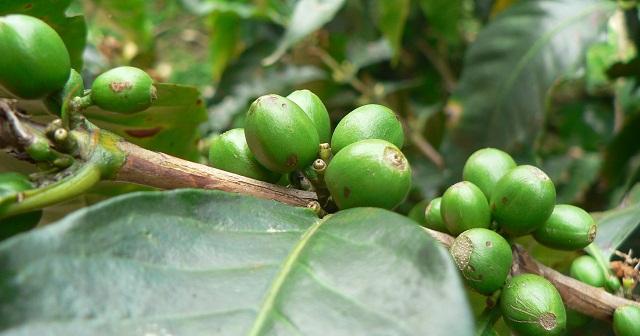 هل القهوة الخضراء تنحف ؟