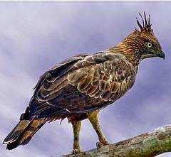Águila azor filipina: Nisaetus philippensis