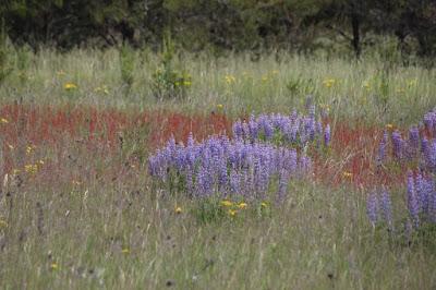 June wildflowers, lupine, sheep sorrel, ???