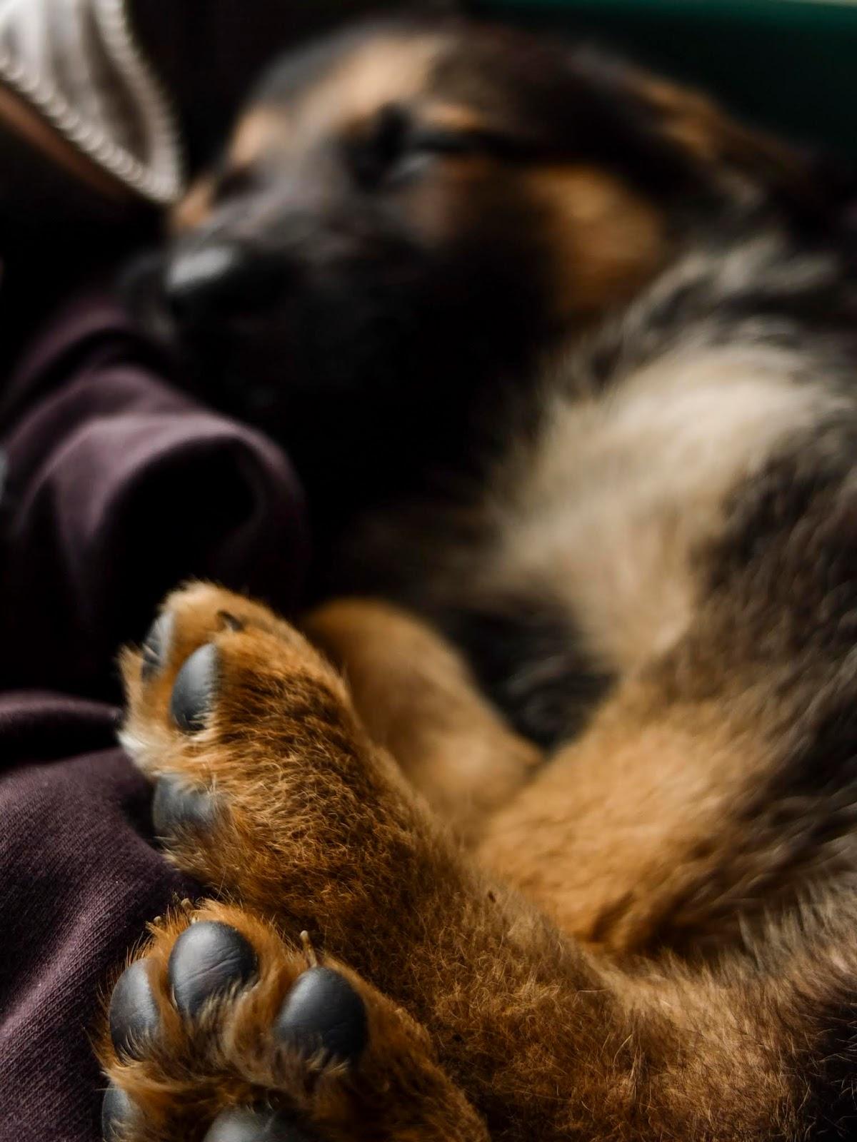 Close up of a sleeping German Shepherd puppy's feet.