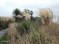 Various grasses, Kaikoura Peninsula - South Island, New Zealand