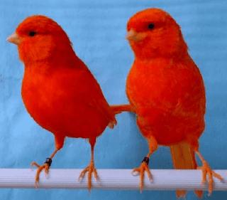 الكناري الأحمر