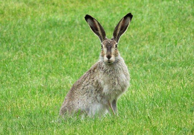 Teks deskripsi kelinci