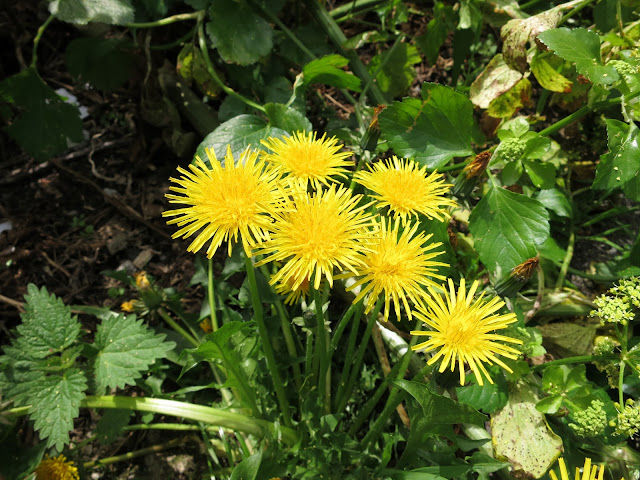 Flowering dandelion and small nettle.