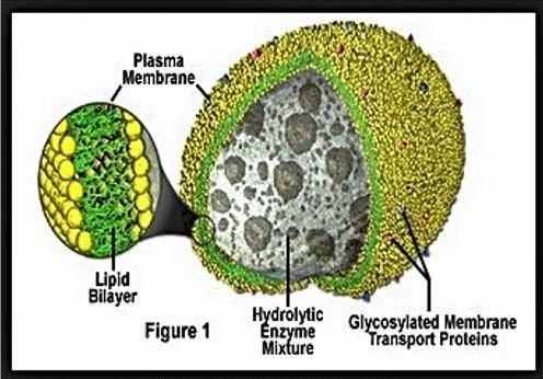 Apa fungsi mitokondria pada sel hewan?