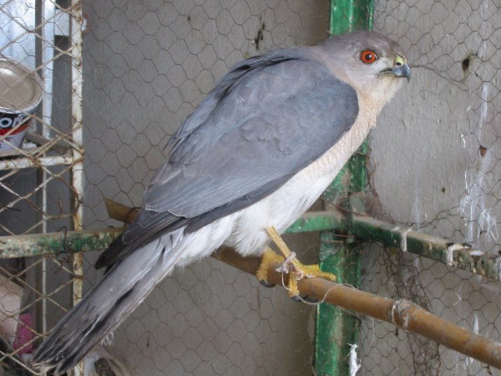 Shikra for sale
