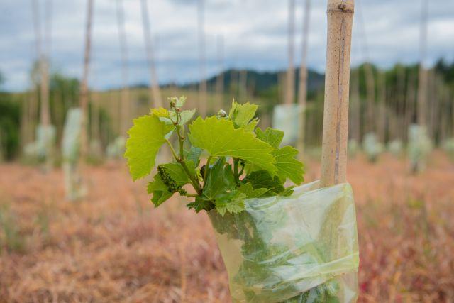 Proyecto para elaboración de viñas