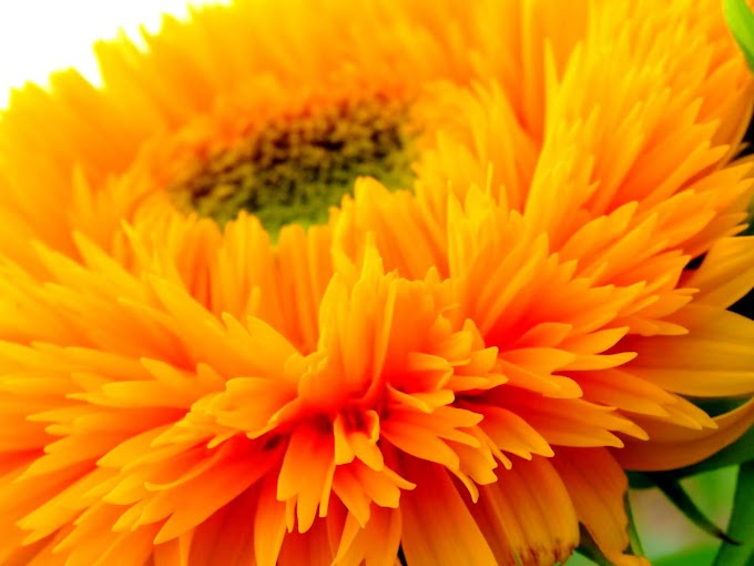 191 #ヒマワリ #花 #向日葵 #黄色 #東北八重