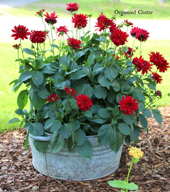 Galvanized Tub of Red Dahlias www.organizedclutter.net