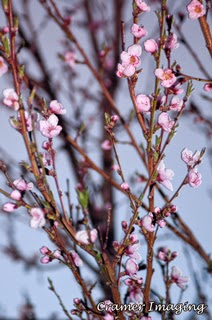 Cramer Imaging's professional quality fine art nature photograph of pink peach blossoms blooming on a tree in Pocatello, Bannock, Idaho