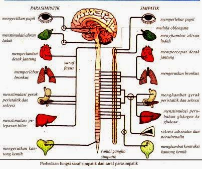 Sistem Saraf pada Manusia