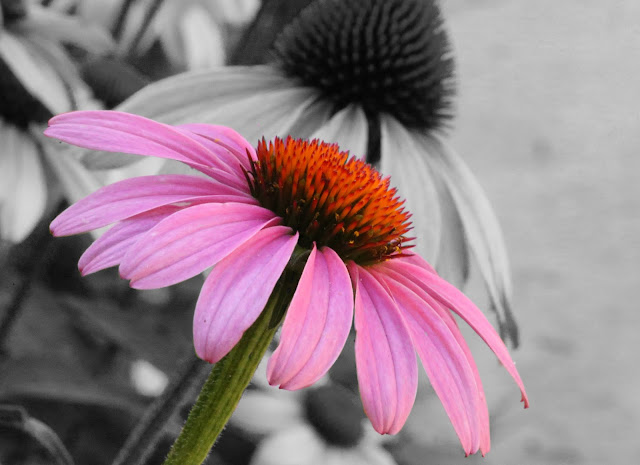Echinacea Flower Photo by @NCarolinaSue