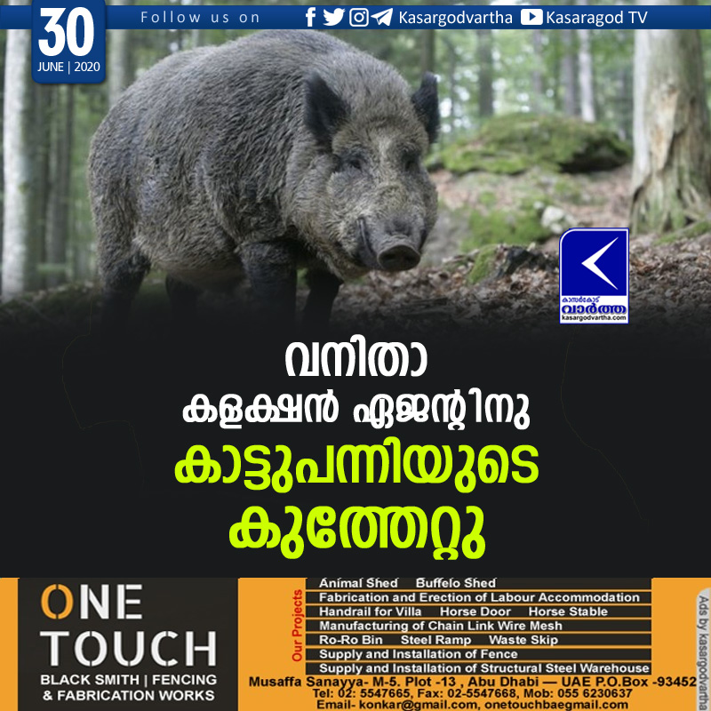 Kasaragod, Neeleswaram, Kerala, News, Attack, Animal, Injured, wild Pig attack; Collection agent injured