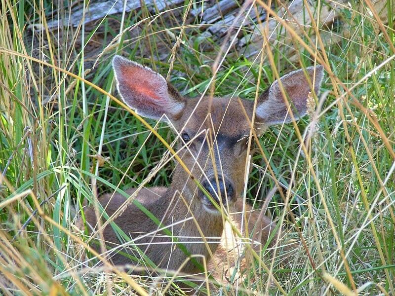 Jones Island tame deer in the San Juan's