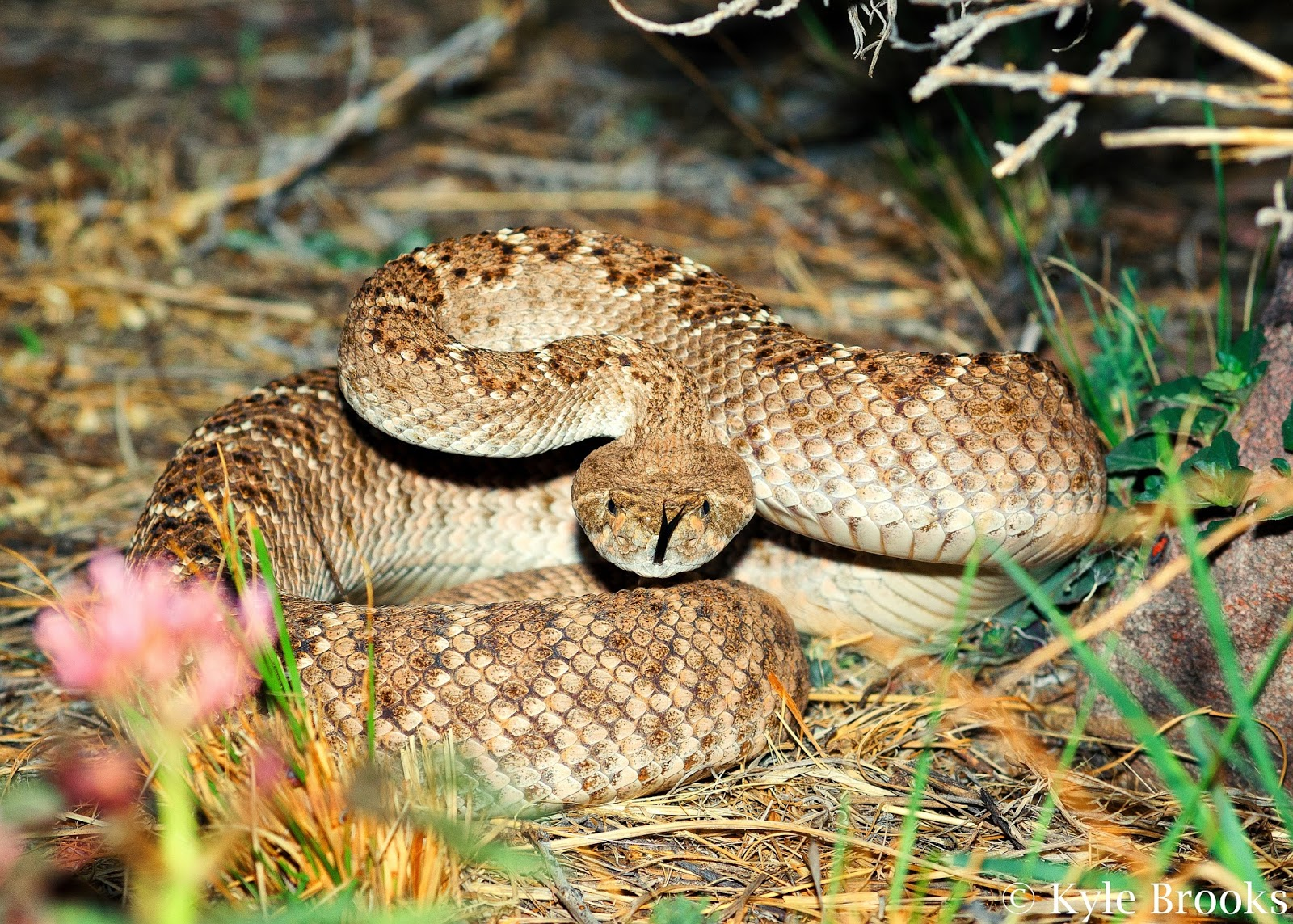 Rattlesnake defense position