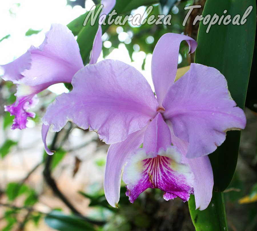Orquídea epífita muy popular en Centroamérica y ampliamente cultivada en el Caribe. Cattleya lueddemanniana.