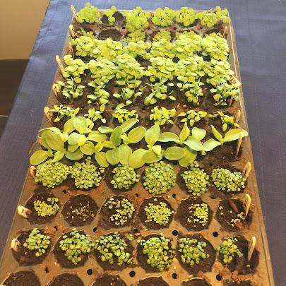 Tray full of multi-sown seedlings