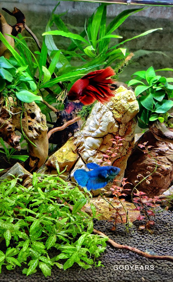 betta fish / siamese fighting fish