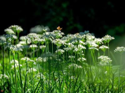 Nira (Allium tuberosum) flowers: Kita-kamakura