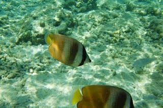 Perairan Pulau Tiga yang jernih memungkinkan kita melihat ikan sejelas ini
