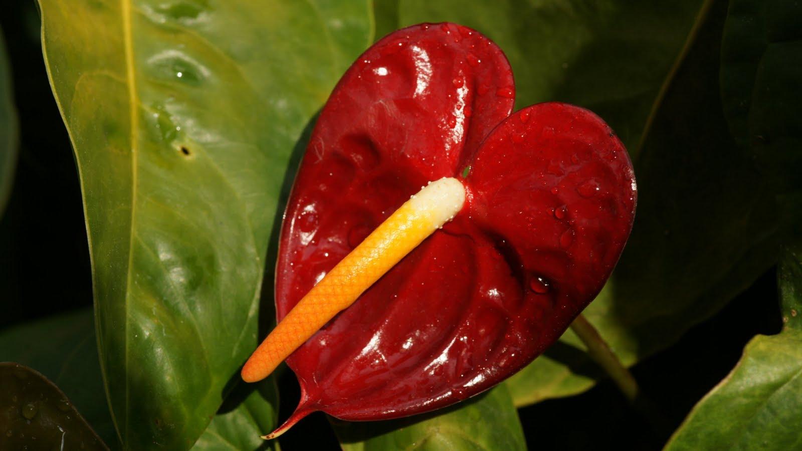 Flower Picture: Anthurium Flower India