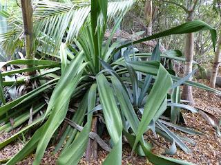 Choca vert - Aloès vert - Chanvre de Maurice - Furcraea foetida