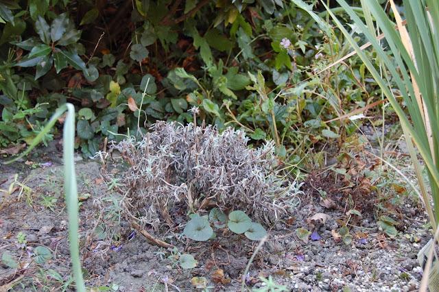 snoeien Lavendel Olympia