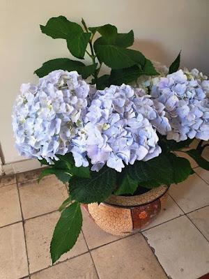פרחי הורטנזיה בצבע כחול