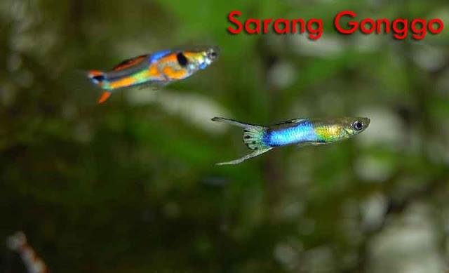 Ikan guppy bisa hidup tanpa aerator