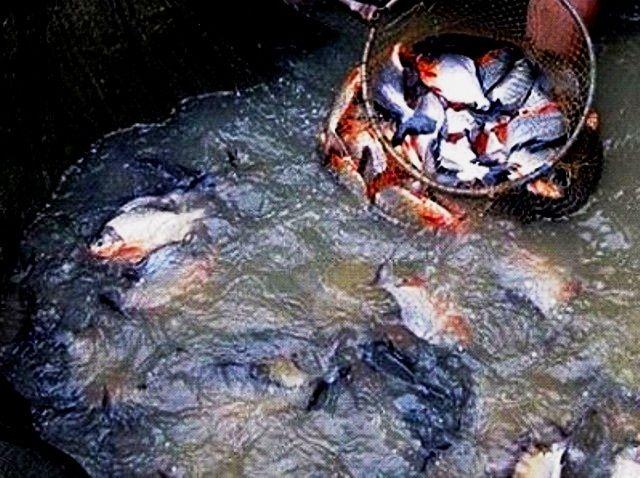 Cara Penebaran Benih Ikan Bawal