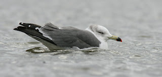 Black-tailed Gull, rarity in Newfoundland