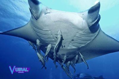 Contoh Simbiosis Komensalisme Ikan Remora Dan Ikan Pari