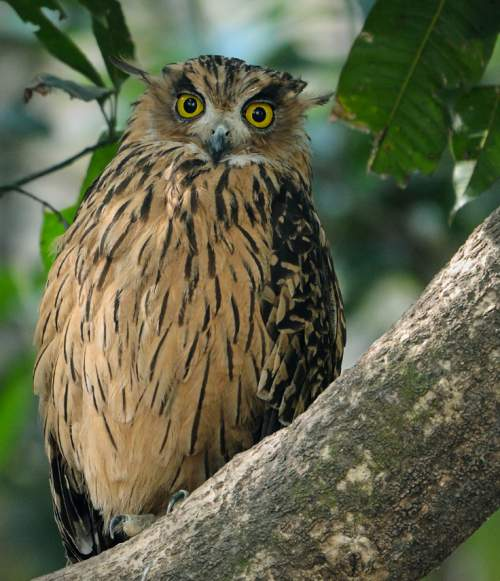 Indian birds - Picture of Tawny fish owl - Ketupa flavipes