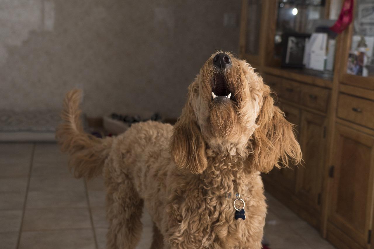 Que faire lorsque les aboiements de chiens augmentent à la maison?