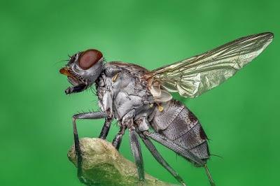 Tahapan Daur Hidup Lalat Full Lengkap