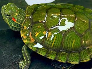 kura-kura-makan-sayuran.jpg