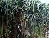 Hala tree, Diamond Head State Monument trail, Oahu, HI
