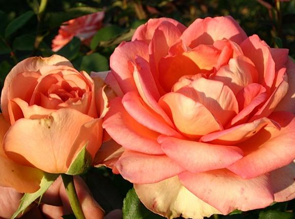 Fantasia Mondiale rose сорт розы фото