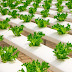 How To Grow Lettuce From Seed In Plastic Gluttering
