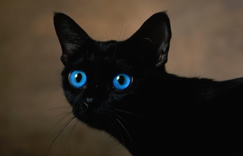 Ojos Azules Cat: Info, History, Personality, Blue Eyes Cat