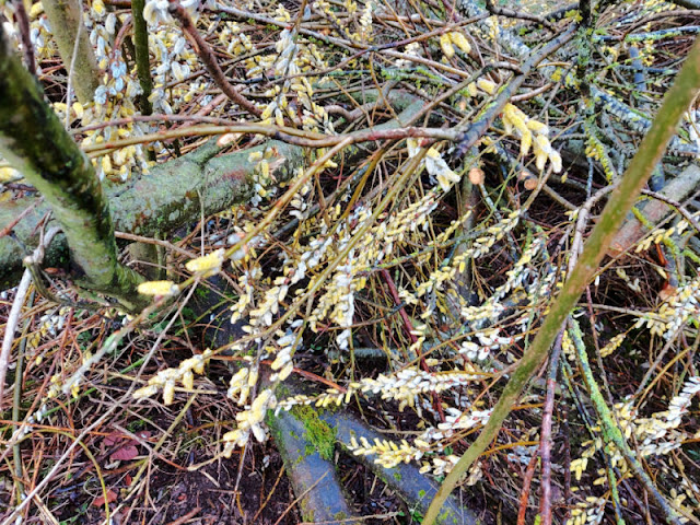 Catkins on a fallen willow tree